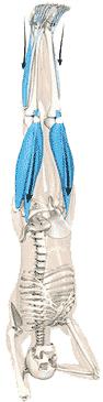 عضلات چهارسر ران و ساق پاها