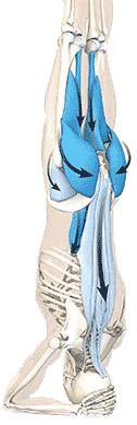 عضلات راست کننده مهره ها و مربع کمری و لگن و کشاله ران