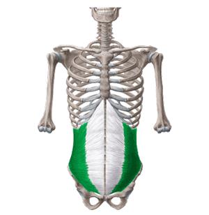 عضلات مورب