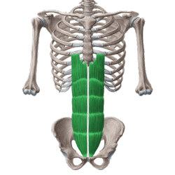 عضلات راست شکم (رکتوس)